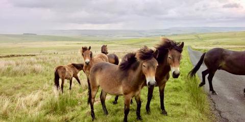 Exmoor wild ponies.