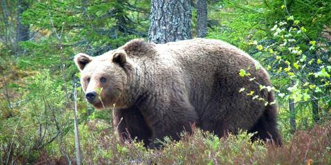 Bear-watching in Finland © .