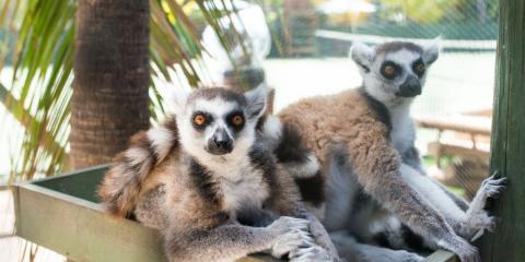 Lemurs at Necker Island.