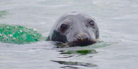 A seal off the Cornish coast
