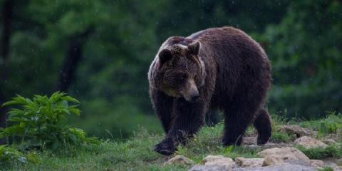 Visit a bear sanctuary on the Family Active Romania Adventure.