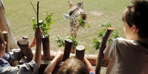Ripley, Zac and Ethan give the giraffes breakfast at Chessington.