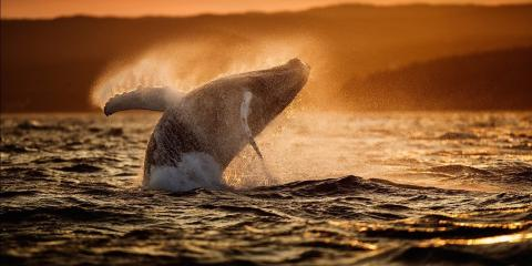 A humpback whale off Newfoundland