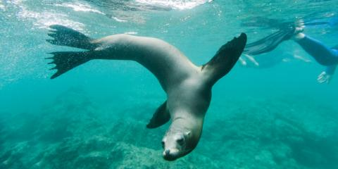 Seal underwater in the Galapagos.