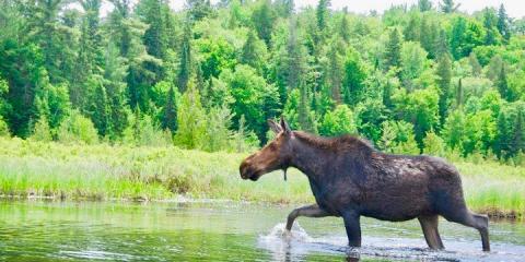 A moose in Algonquin Provincial Park, Ontario.