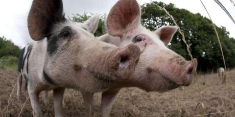 Pigs at the organic La Ferme de La Moricière.