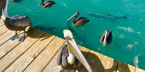 Tarpon and pelicans at Robbie's
