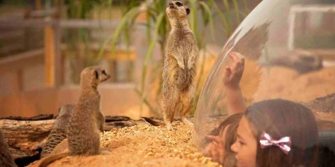 Spot the Meerkats at Wicksteed Park.